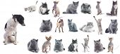 Collection of a cats isolated over white background (five breeds) + 1 bonus dog. poster