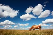 Cow eating dry grass on meadow under blue sky with clouds poster