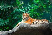 Lying tiger in zoo on green trees background poster
