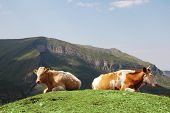 Tow cows at the top of hill in summer poster