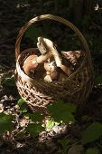 Basket with mushrooms. Group of boletus in the forest. Good harvest of eatable fungus poster