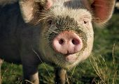 pig muzzle close-up on a background of green meadows poster
