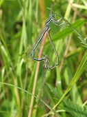 Two dragonflies are coupling on the grass stalk. poster