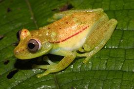 Grüne Frong - Ecuador
