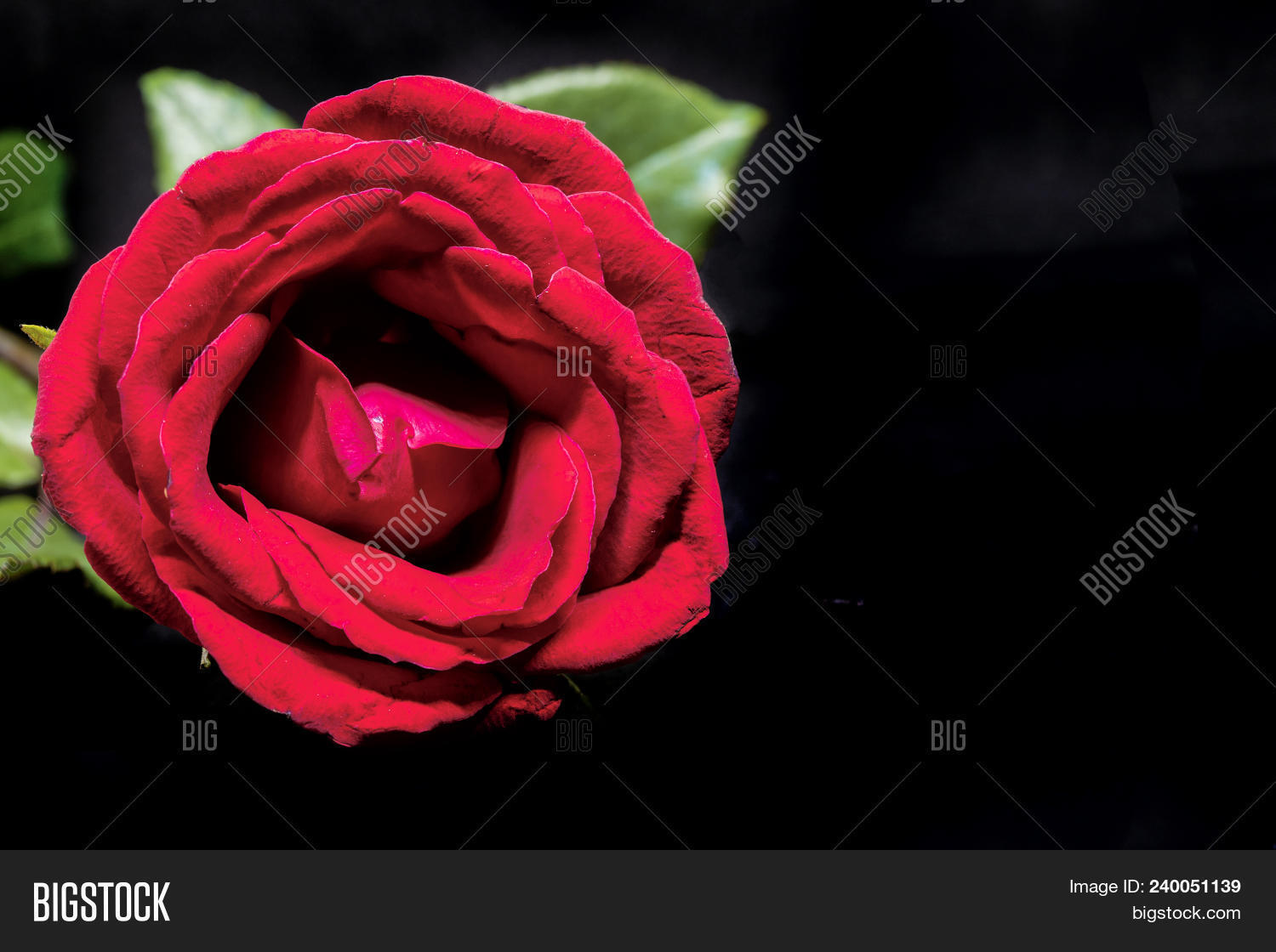 Red rose on black image photo free trial bigstock red rose on black background beautiful blossom with velvet petal hot pink flower banner izmirmasajfo
