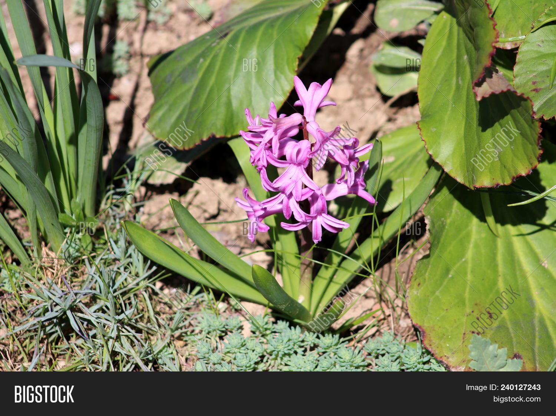 Hyacinths Hyacinthus Image Photo Free Trial Bigstock
