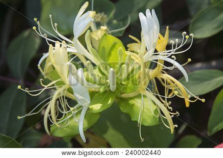 A Honeysuckle Blossom Shines In The Morning Sun In A Park In Wilmington North Carolina