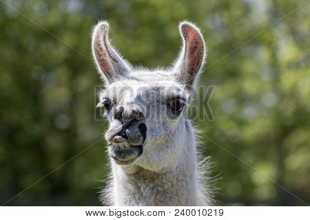 Goofy Lama Pulling A Face. Funny Llama Animal Sticking Tongue Out. Humorous Meme Image