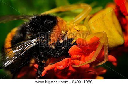 Spider (thomisus Onustus) With His Prey Buff-tailed Bumblebee (bombus Terrestris)