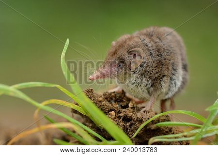 Lesser White-toothed Shrew (crocidura Suaveolens) On Loam. Little Insect-eating Mammal With Brown Fu
