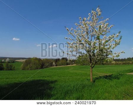 Spring Landscape With A Small Flowering Tree On The Edge Of A Green Meadow, Young Cherry Tree Photo