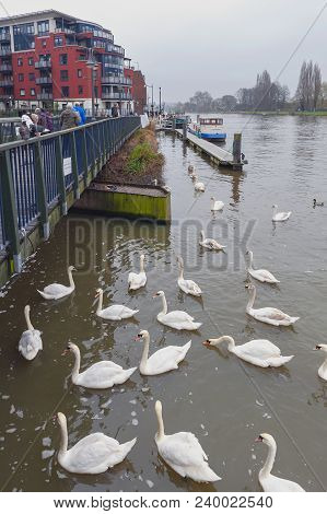 Kingston Upon Thames, United Kingdom - April 2018: Flock Of Swans And Waterbirds At Riverside Walk P