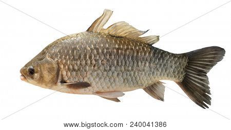 Crucian carp isolated on white background with accurate clipping path
