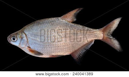 Live silver bream isolated on black background with detailed accurate clipping path