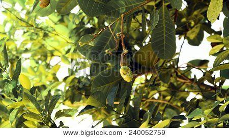 Cashew Fruits With Nut Anacardium Occidentale Growing On A Tree.cashew Nuts Growing On A Tree This E