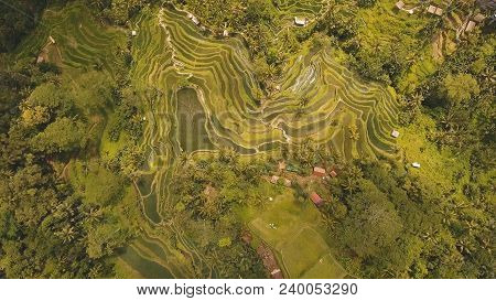 Aerial View Of Rice Terrace Field, Ubud, Bali, Indonesia.rice Plantation, Terrace, Agricultural Land