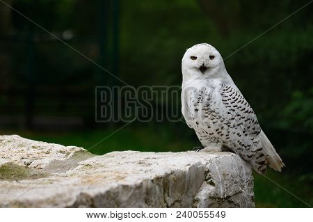 Full Body Of Male Snowy Owl. Photography Of Wildlife.