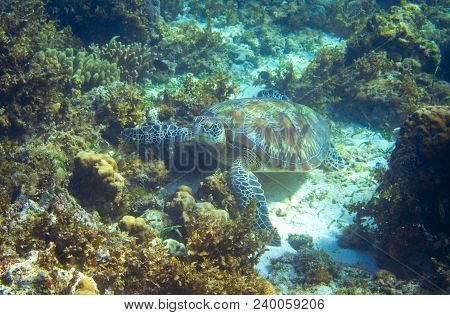 Sea Turtle On Seabottom With Corals. Green Sea Turtle Closeup. Wildlife Of Tropical Coral Reef. Tort