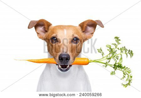Jack Russell Dog  With  Healthy  Vegan Carrot In Mouth  , Isolated On White Background
