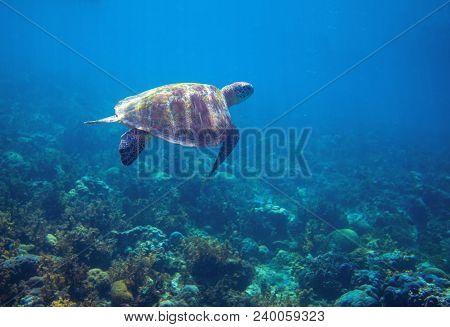 Sea Turtle In Tropical Seashore. Green Sea Turtle Closeup. Wildlife Of Tropical Coral Reef. Tortoise