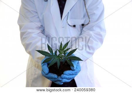 Marijuana Plant in hands. A Scientist holds a marijuana Clone or Cutting plant in his hands.