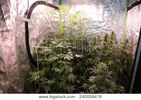 Female Marijuana Plants Flowering and growing inside an industrial Marijuana Grow Room under lights, heat, filtered air, and controlled environment and conditions. Industrial Grow Room farm.