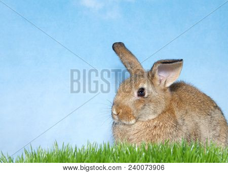 Brown Bunny In Green Grass With Blue Background. A Domestic Rabbit, More Commonly Known As A Pet Rab