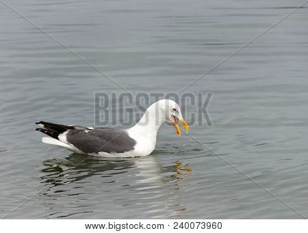 California Gull Swimming In Shallow Water Looking For Food. Mouth Open. The South Bay California Gul