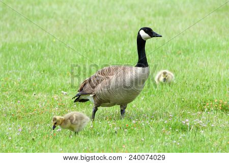 Adult Canada Goose With Goslings Eating In Green Grass. Canada Geese Frequently Establish Breeding C