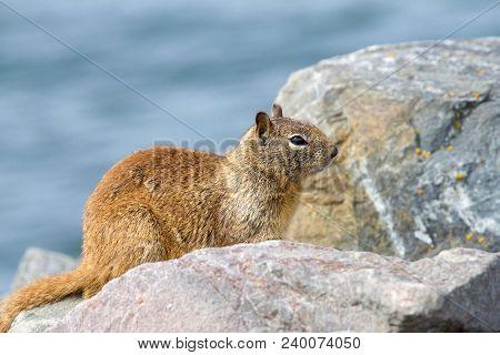 One Brown Ground Squirrel Crouched In Coastal Rocks. California Ground Squirrels Are Often Regarded