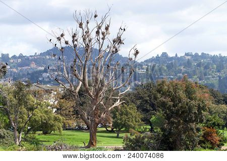 Colony Of Double Crested Cormorants Nesting In A Leaf Bare Tree.  These Birds Are Found Near Rivers