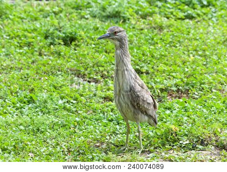 Juvenile Black Crowned Night Heron Standing Up Attentively In Green Grass And Clover. The Young Bird