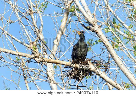 Double Crested Cormorant Nesting In The Top Of Leaf Barren Tree. Once Threatened By The Use Of Ddt,