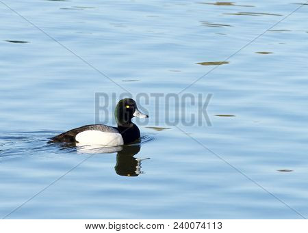 Male Greater Scaup In Breeding Colors Swimming On Calm Water. A Mid-sized Diving Duck, Greater Scaup