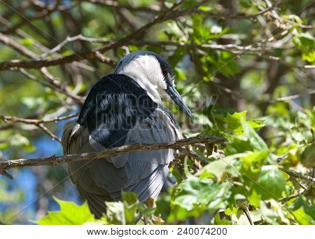 Black Crowned Night Heron On A Tree Branch Preening Feathers. Birds Have Up To 25,000 Feathers, And