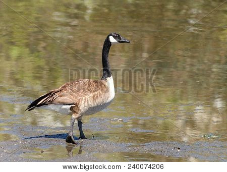 Canada Goose Walking Towards A Pond. Canada Geese Are Able To Establish Breeding Colonies In Urban A