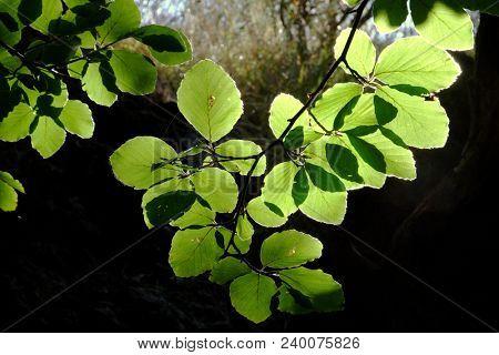 beech leaves in backlit, Sicily