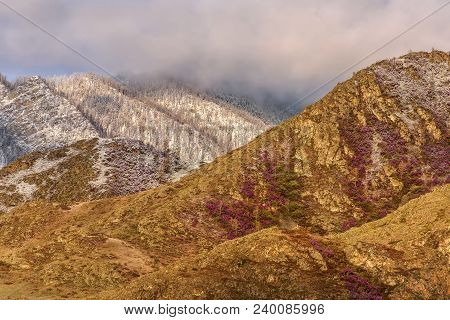 Spring Contrast Of Bright Purple Flowers Of Ledum And White Snow On The Slopes Of The Mountains In T