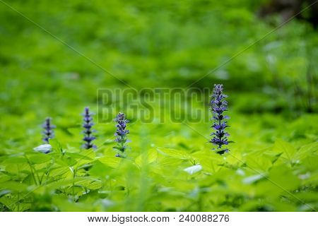 Blue Ajuga Flowers Also Known As Bugleweed, Ground Pine Or Carpet Bugle - Detail From Spring Or Summ
