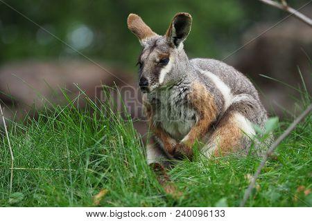 Yellow-footed Rock Wallaby - Petrogale Xanthopus - Australian Kangaroo