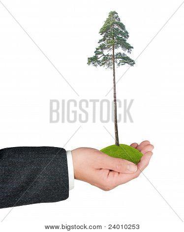 Árbol de pino en la mano
