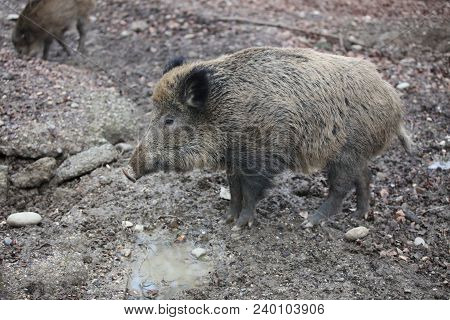 Wild Boar (sus Scrofa) In The Forest. Germany