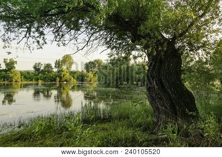 Old Willow Tree On The Lake Shore. Sunny Day On Lake Shore. Peaceful Lake Water And Green Trees. Lak