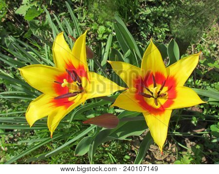 Full-flowered Tulip, Rich Blossom In Red And Yellow, Close-up