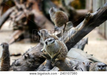 Family Wild African Meerkats On The Tree Trunk. Photography Of Wildlife.