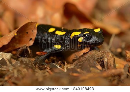 The Fire Salamander (salamandra Salamandra) In The Brown Fallen Leaves In The Forest. Yellow Spotted
