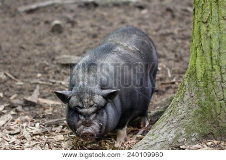 Full Body Of Pig Breed Vietnamese Pot-bellied. Photography Of Wildlife.
