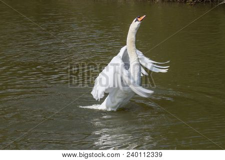 Photo Of A Male Mute Swan Stretching His Wings