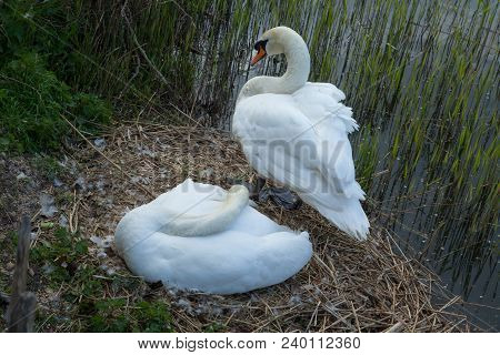Photo Of A Pair Of Mute Swans On The Nest