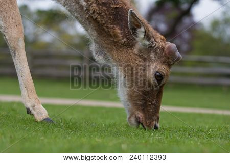 Closeup Portrait Of A Grazing Fallow Deer